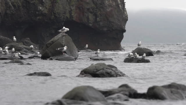 birds of pacific gulls sitting on stones on beach, rocky seashore of pacific coast of kamchatka peninsula - eurasia stock videos and b-roll footage