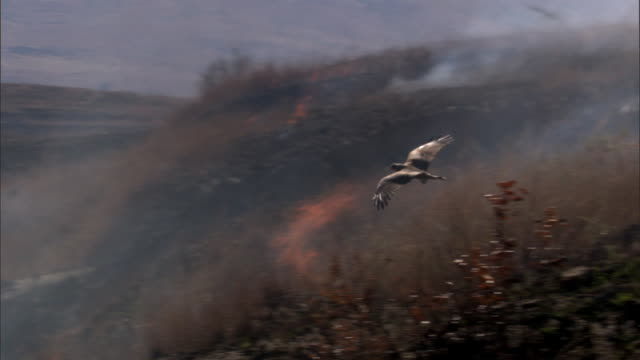 birds of prey hunt over wild fire, madagascar - 猛禽点の映像素材/bロール