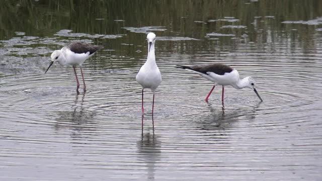 birds of serengeti national park, tanzania - stilts stock videos and b-roll footage