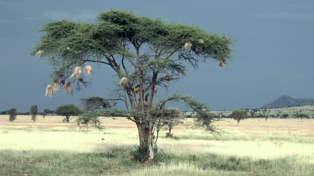 birds of serengeti national park, tanzania - bird's nest stock videos & royalty-free footage