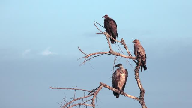 birds of tarangire, tanzania - vulture stock videos & royalty-free footage