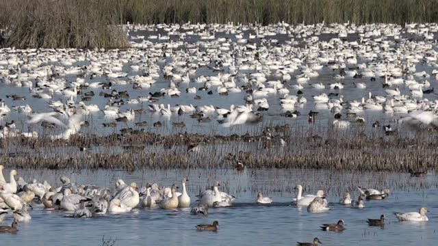 birds of the central valley, california, winter - feather stock videos & royalty-free footage