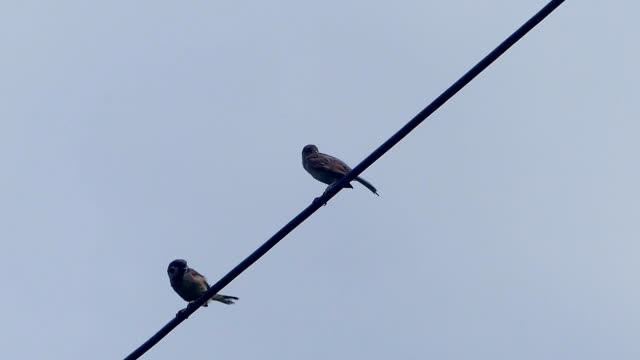 birds on a cable - sparrow stock videos & royalty-free footage
