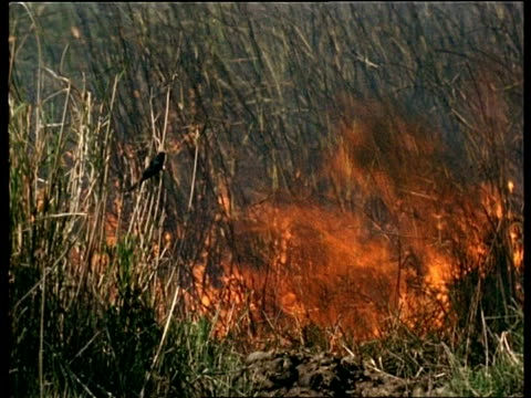 ms birds on grass near raging bushfire, india - inferno stock videos & royalty-free footage