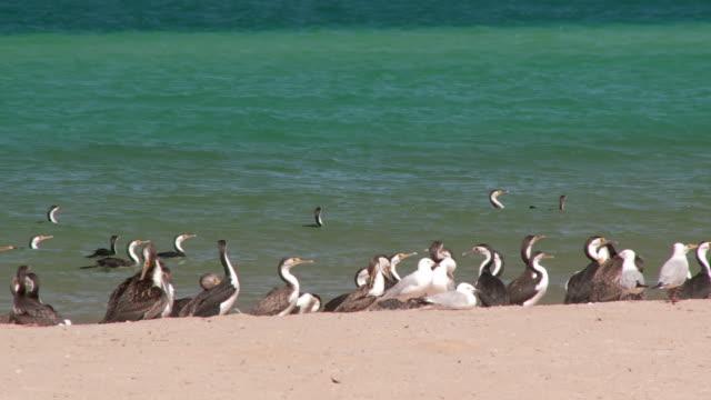 ms birds on shore / denham, western australia, australia  - water's edge stock videos & royalty-free footage