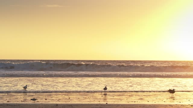 birds on the beach at golden hour - santa monica beach stock videos & royalty-free footage