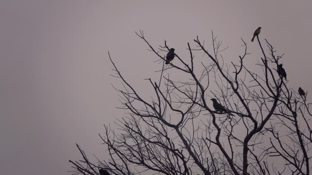 birds on the tree - crow stock videos & royalty-free footage