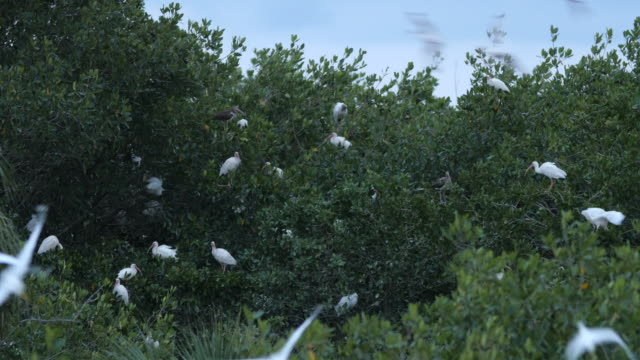 birds pelican flying to tree home at twilight - appollaiarsi video stock e b–roll