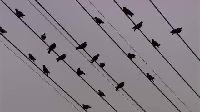 birds perch on power lines, then fly away. - animal behaviour stock videos & royalty-free footage