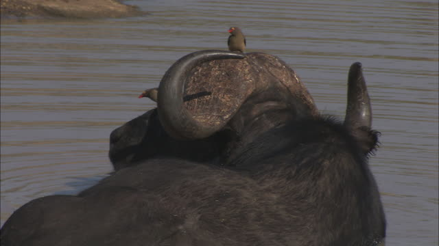 birds perch on the head of a cape buffalo standing in a river. - symbiotic relationship stock videos & royalty-free footage