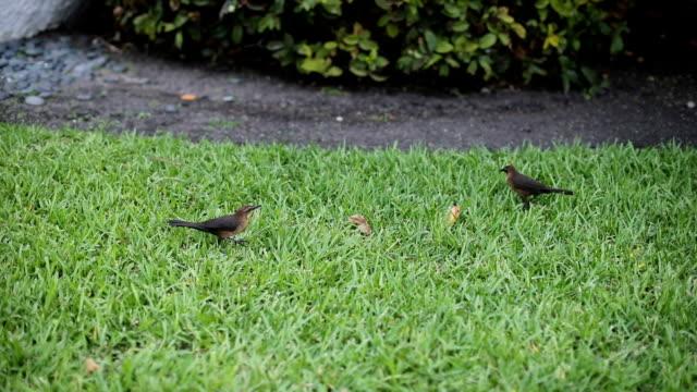 Birds picking grass