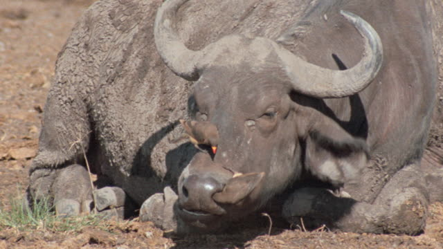 birds preen near the mouth and snout  of an african buffalo. - wild cattle stock videos & royalty-free footage