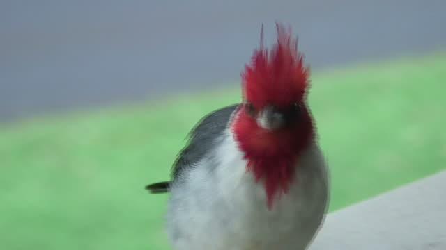 (HD1080i) Vögel: Red-Crested Cardinal sieht in die Kamera