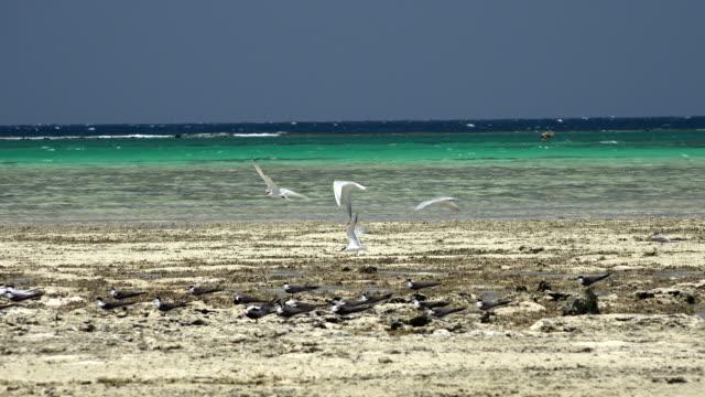 birds relax in the coral sea beach in seyal island - röda havet bildbanksvideor och videomaterial från bakom kulisserna