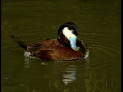 vidéos et rushes de ruddy duck under threat from government cull itn england london ruddy duck on water preening tms two ruddy ducks on water tcms spanish whiteheaded... - se lisser les plumes