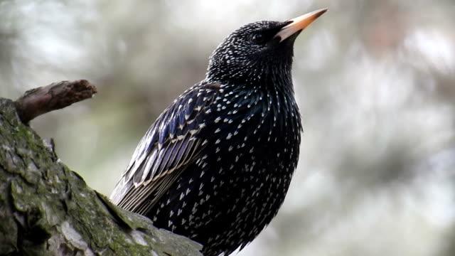 vidéos et rushes de oiseaux série :  jay, corneille, étourneau sansonnet - etourneaux