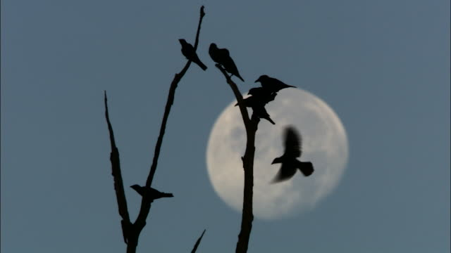 birds silhouetted in tree, malaysia - malaysia stock videos & royalty-free footage