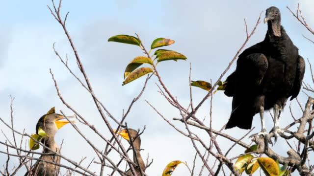 stockvideo's en b-roll-footage met birds vulture on top of tree - kleine groep dieren