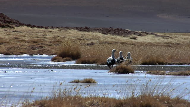 ZO WS Birds walking along lake shore in desert landscape, mountains in background, San Pedro de Atacama, El Loa, Chile