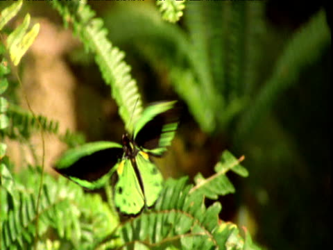 "vidéos et rushes de birdwing butterfly hovers over ferns, queensland - ""bbc natural history"""