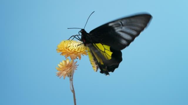 birdwing schmetterling auf gelbe blume - tropical climate stock-videos und b-roll-filmmaterial