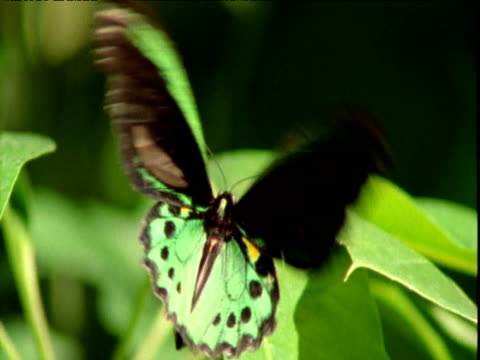 "vidéos et rushes de birdwing butterfly takes off from leaf, queensland - ""bbc natural history"""