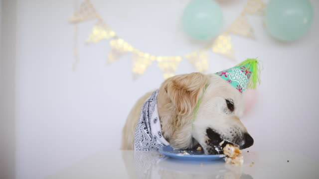 birthday dog eating cake - compleanno video stock e b–roll