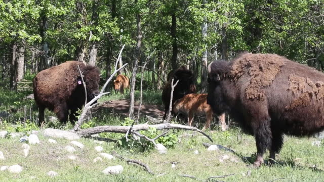 bison also know as buffalo at rockwood bison inc a ranch located near gunton manitoba canada on wednesday june 19 2019 - american bison stock videos & royalty-free footage