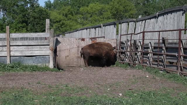 vídeos y material grabado en eventos de stock de bison also know as buffalo at rockwood bison inc a ranch located near gunton manitoba canada on wednesday june 19 2019 - mamífero ungulado
