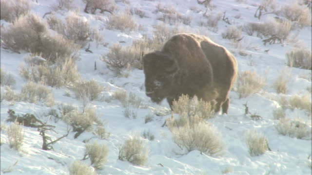 a bison ambles across a snowy hillside. - american bison stock videos & royalty-free footage
