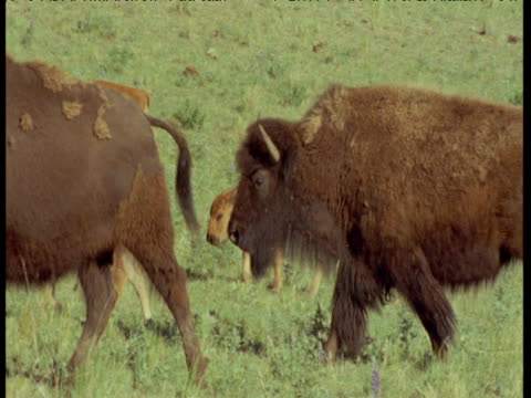 bison and calves walk past, montana - babyhood stock videos & royalty-free footage