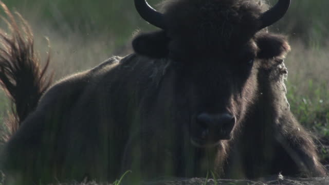 bison and insects super slow motion - american bison stock videos & royalty-free footage