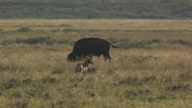 bison and pronghorn eating - antilope stock-videos und b-roll-filmmaterial