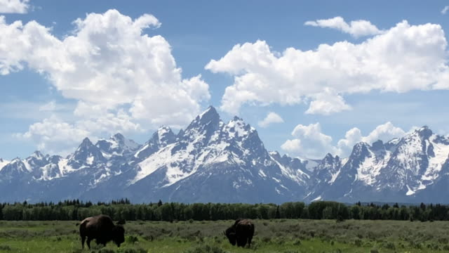 stockvideo's en b-roll-footage met bison at grand teton national park - wyoming