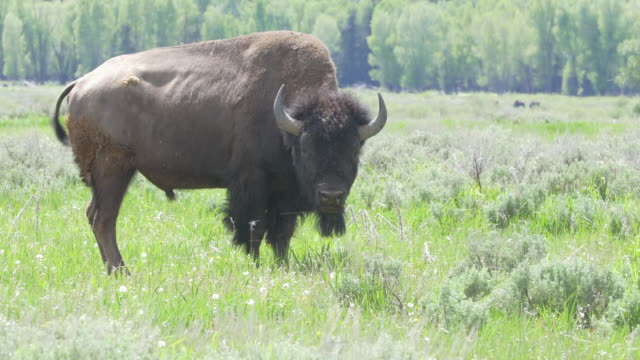 bison at grand teton national park - grand teton national park stock videos & royalty-free footage