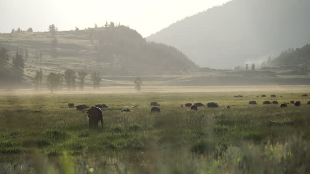 bison at yellowstone national park / wyoming, united states - wyoming stock videos & royalty-free footage