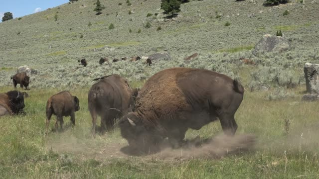 bison behavior during rut in yellowstone - horned stock videos & royalty-free footage