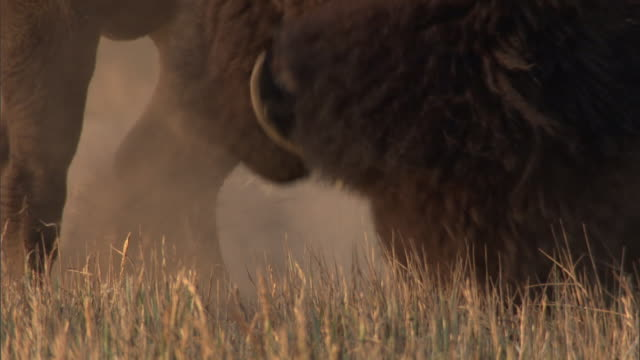 Bison (Bison bison) bull urinates and paws at ground, Yellowstone, USA