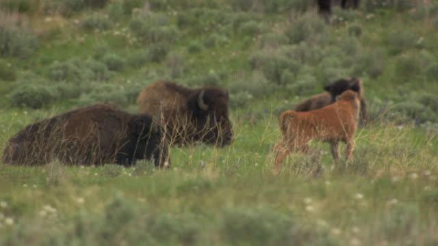 bison calf walking - wyoming stock videos & royalty-free footage