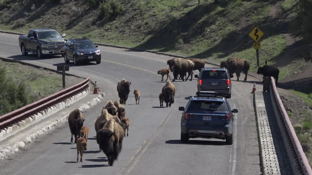 vídeos y material grabado en eventos de stock de bison causing traffic jam, yellowstone national park, wyoming - wyoming