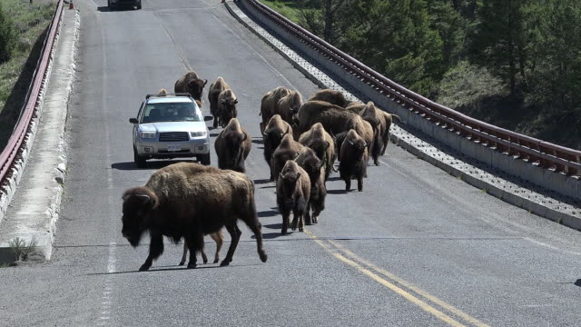 bison causing traffic jam, yellowstone national park, wyoming - wild cattle stock videos & royalty-free footage