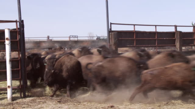 bison charge out of a pen into a field. - american bison stock videos & royalty-free footage