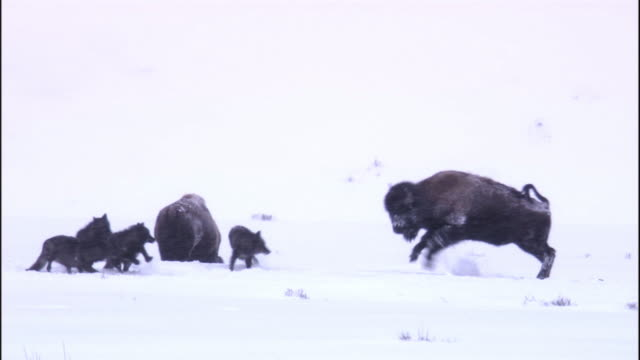 bison (bison bison) chases grey wolves (canis lupus) in snow storm, yellowstone, usa - american bison stock videos & royalty-free footage