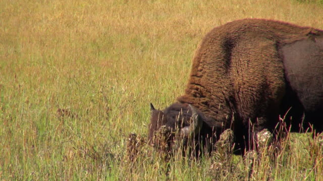 bison chewing grass while looking around - herbivorous stock videos & royalty-free footage