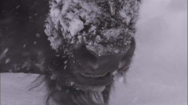 bison (bison bison) chews the cud in snow, yellowstone, usa - american bison stock videos & royalty-free footage
