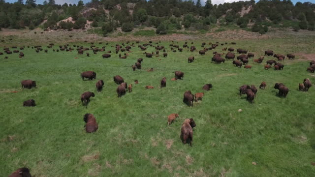 drone bison close half orbit buffalo - 4k drone tracking aerial view wildlife herd hunting, deer, elk, bison, hawk, buck, cows, bird, buffalo, directors choice, editors choice, magic hour, sun flare, grassland, epic - bird hunting stock videos & royalty-free footage