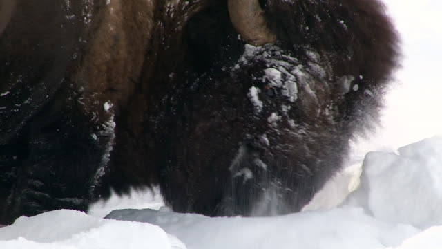 bison closeup of snowy face, pushing aside snow to reach grass, yellowstone national park, wyoming, in winter - アメリカバイソン点の映像素材/bロール