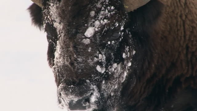 bison closeup of snowy face, yellowstone national park, wyoming, in winter - american bison stock videos & royalty-free footage