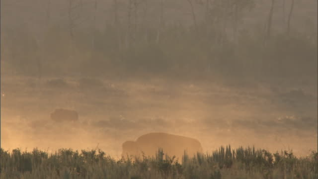 bison (bison bison) cross dusty prairie at sunrise, yellowstone, usa - prairie stock videos and b-roll footage