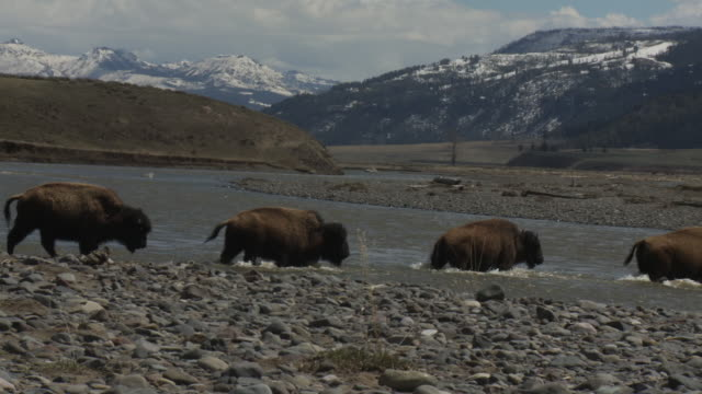 bison cross the lamar river in yellowstone national park. - american bison stock videos & royalty-free footage